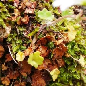 Photographie n°2025158 du taxon Saxifraga granulata L.