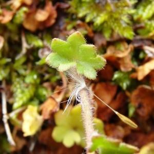Photographie n°2025163 du taxon Saxifraga granulata L.