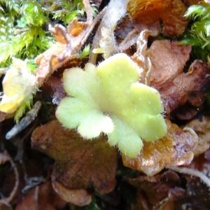 Photographie n°2025165 du taxon Saxifraga granulata L.