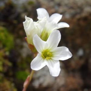 Photographie n°2025175 du taxon Saxifraga granulata L.