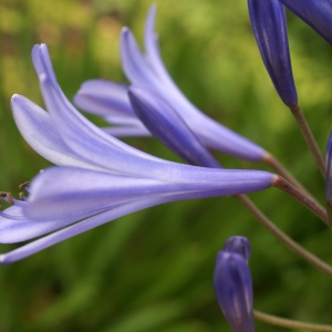Agapanthus africanus (L.) Hoffmanns. (African Lily)
