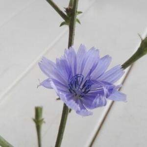 Photographie n°2047992 du taxon Cichorium intybus L. [1753]