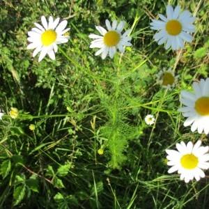 Photographie n°2049772 du taxon Tripleurospermum inodorum (L.) Sch.Bip. [1844]