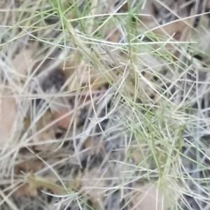 Photographie n°2052927 du taxon Brachypodium retusum (Pers.) P.Beauv. [1812]