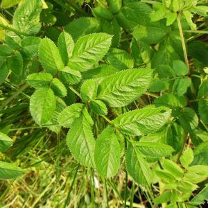 Photographie n°2069055 du taxon Angelica sylvestris L. [1753]