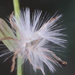 Photographie n°2074624 du taxon Chondrilla juncea L. [1753]