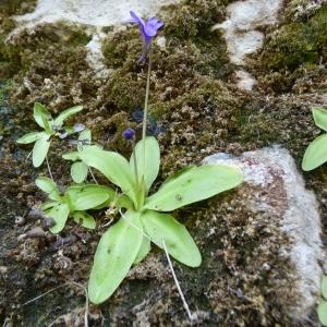 Pinguicula longifolia subsp. caussensis Casper [1962] (Grassette des Causses)
