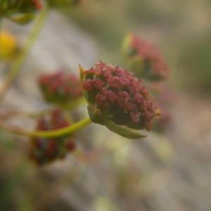 Photographie n°2080247 du taxon Bupleurum ranunculoides L.