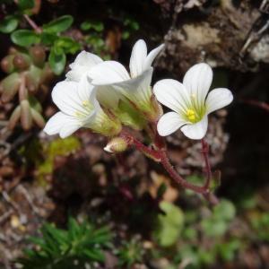 Photographie n°2080769 du taxon Saxifraga granulata L.