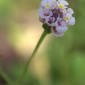 Lippia nodiflora (L.) Michx. (Phyla à fleurs nodales)