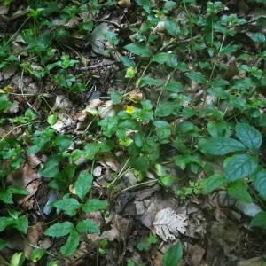 Photographie n°2083493 du taxon Lysimachia nemorum L.