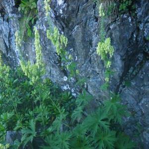 Photographie n°2086148 du taxon Aconitum lycoctonum subsp. vulparia (Rchb.) Nyman [1889]