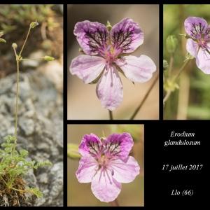 Photographie n°2086382 du taxon Erodium glandulosum (Cav.) Willd. [1800]