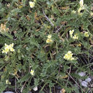 Photographie n°2089466 du taxon Oxytropis campestris subsp. campestris