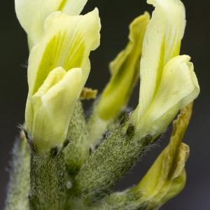 Photographie n°2089471 du taxon Oxytropis campestris subsp. campestris
