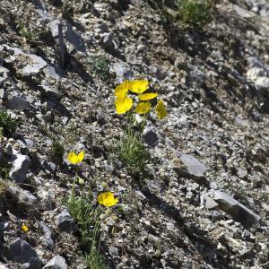 Photographie n°2089472 du taxon Papaver alpinum subsp. alpinum