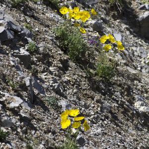 Photographie n°2089473 du taxon Papaver alpinum subsp. alpinum