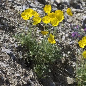 Photographie n°2089479 du taxon Papaver alpinum subsp. alpinum