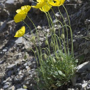 Photographie n°2089485 du taxon Papaver alpinum subsp. alpinum