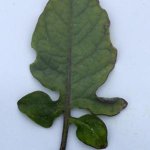 Photographie n°2089841 du taxon Solanum L. [1753]