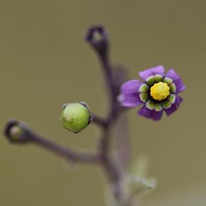 Photographie n°2089842 du taxon Solanum L. [1753]