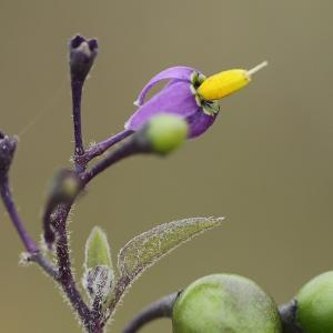 Photographie n°2089843 du taxon Solanum L. [1753]