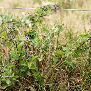 Photographie n°2089847 du taxon Solanum L. [1753]