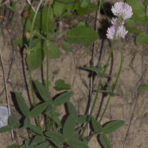 Photographie n°2089905 du taxon Trifolium montanum L. [1753]