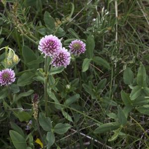 Photographie n°2089906 du taxon Trifolium montanum L. [1753]