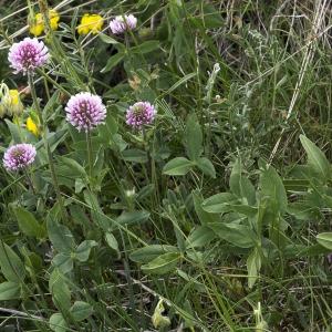 Photographie n°2089907 du taxon Trifolium montanum L. [1753]