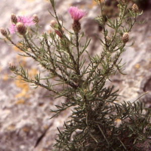 Photographie n°2089943 du taxon Centaurea corymbosa Pourr. [1788]