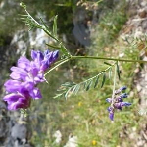 Photographie n°2090255 du taxon Vicia cracca L. [1753]