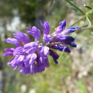 Photographie n°2090256 du taxon Vicia cracca L. [1753]