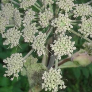 Photographie n°2090672 du taxon Angelica sylvestris L. [1753]