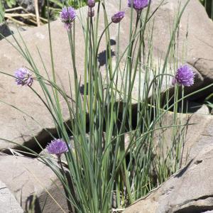 Photographie n°2090932 du taxon Allium schoenoprasum L.