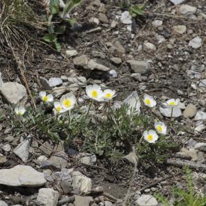 Photographie n°2091063 du taxon Ranunculus seguieri Vill.