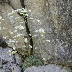 Photographie n°2091075 du taxon Saxifraga paniculata Mill.