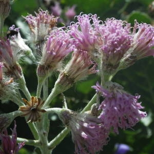Photographie n°2091784 du taxon Adenostyles leucophylla (Willd.) Rchb. [1831]