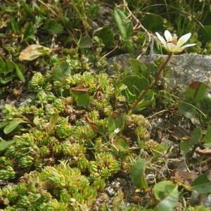 Photographie n°2091808 du taxon Saxifraga bryoides L. [1753]