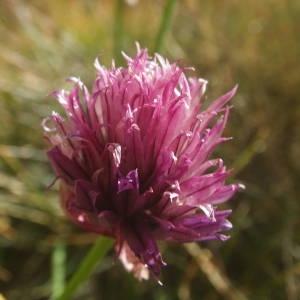 Photographie n°2091825 du taxon Allium schoenoprasum L.
