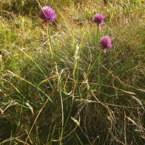 Photographie n°2091830 du taxon Allium schoenoprasum L.
