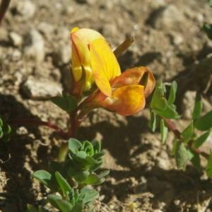 Photographie n°2091842 du taxon Lotus corniculatus subsp. alpinus (DC.) Rothm.