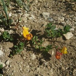 Photographie n°2091852 du taxon Lotus corniculatus subsp. alpinus (DC.) Rothm.