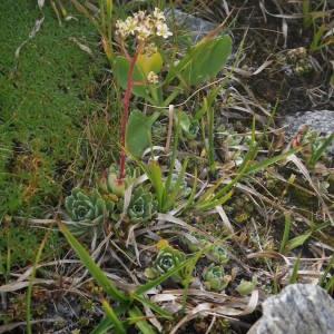 Photographie n°2091875 du taxon Saxifraga paniculata Mill.