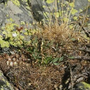 Photographie n°2091915 du taxon Atocion rupestre (L.) B.Oxelman
