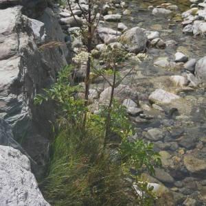 Photographie n°2092023 du taxon Angelica sylvestris L. [1753]