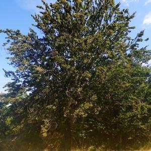 Photographie n°2092116 du taxon Fagus sylvatica L.
