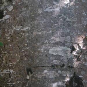 Photographie n°2092117 du taxon Fagus sylvatica L.