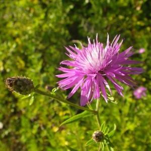 Photographie n°2092185 du taxon Centaurea nigrescens Willd.
