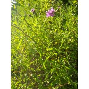 Centaurea nigrescens Willd. [1803] (Centaurée noirâtre)
